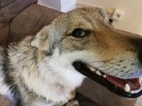 Respiración ruidosa en perros, Perro lobo de Saarloos