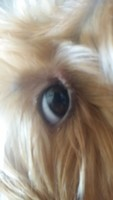 Ojos inflamados en perros, Yorkshire terrier