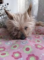 Arrastra las patas en perros, Yorkshire terrier