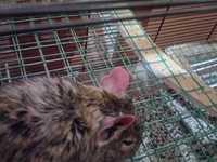 Ara, mi roedor degú hembra, tiene come cosas no alimenticias (plásticos, calcetines etc.)