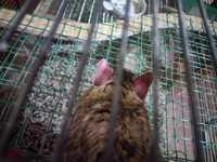 Come cosas no alimenticias (Plásticos, calcetines etc.) en roedores, Degú