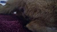 Sangrado en vagina en gatos, Americano de pelo corto