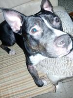 Falta de pelo alrededor de los ojos en perros, Pit bull