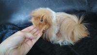 Pérdida de pelo en roedores, Cobaya peruano