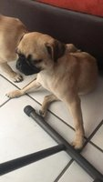 Luna, mi perro pug hembra, tiene dificultad al caminar o levantarse, rigidez en las patas traseras y pérdida o atrofia muscular