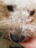 Teo, mi perro bichón frisé macho, tiene vómito, se chupa las patas y apatía