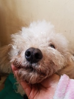 Mucho moco en la nariz en perros, Bichón frisé