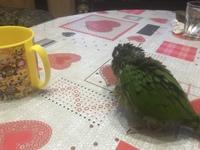 Dificultad al caminar o levantarse en aves, Cotorra de Kramer