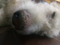 Falta de pelo alrededor de los ojos en perros, Desconocida