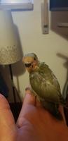 Mal apetito en aves, Agapornis personatus