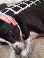 Respiración acelerada en perros, Mestizo