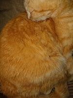 Estrella, mi gato americano de pelo áspero hembra, tiene picor y rascarse, caspa y sacude la cabeza