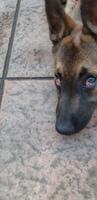 Bella, mi perro pastor belga hembra, tiene ojos rojos, párpado enrollado hacia adentro y ojos inflamados