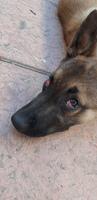 Ojos inflamados en perros, Pastor belga