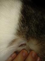 Isis, mi gato cruce de común europeo hembra, tiene heridas, erupciones en la piel y úlceras en la piel