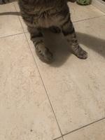Krull, mi gato común europeo macho, tiene dolor al contacto, dificultad al caminar o levantarse y cojera