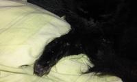 Tronca, mi gato angora turco hembra, tiene debilidad, letargo y babeo excesivo o espuma blanca por la boca