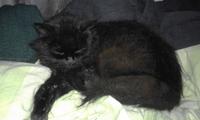 Babeo excesivo o espuma blanca por la boca en gatos, Angora turco