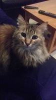 Estornudos en gatos, Persa americano