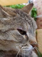 Falta de pelo alrededor de los ojos en gatos, Desconocida