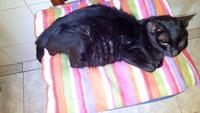 Respira con dificultad en gatos, Desconocida