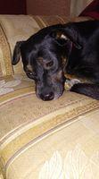 Beyli, mi perro desconocida hembra, tiene párpado inflamado