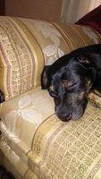 Párpado inflamado en perros, Desconocida