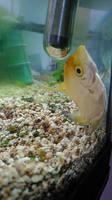 Leo, mi pez desconocida macho, tiene apatía