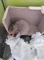 Guti, mi roedor hámster hembra, tiene sangrado en vagina
