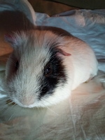 Dificultad para defecar en roedores, Cobaya teddy