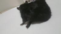 Dificultad al caminar o levantarse en roedores, Jerbo