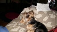 Vómito verde en perros, Yorkshire terrier