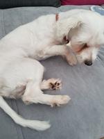 Winny, mi perro bichon maltés hembra, tiene mucho moco en la nariz y caspa