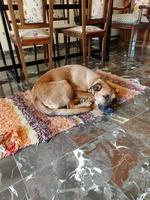 Respiración acelerada en perros, Pastor belga
