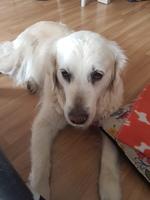 Lagrimeo verdoso o amarillento en perros, Golden retriever