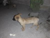 Keyla, mi perro pastor belga laekenois hembra, tiene mal apetito y come cosas no alimenticias (plásticos, calcetines etc.)
