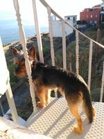 Ron, mi perro cruce de yorkshire terrier macho, tiene picor y rascarse, se rasca en los oídos y se chupa las patas