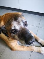 Ataque epiléptico en perros, Fila Brasileiro