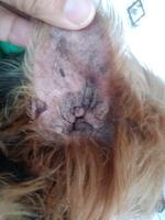 Destroyer, mi perro yorkshire terrier macho, tiene mal aliento, almohadilla del pie dura (hiperqueratosis) y lagrimeo verdoso o amarillento