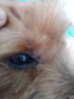 Secreción ocular en perros, Yorkshire terrier