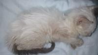 Perla, mi gato desconocida hembra, tiene mal apetito, piel seca y dificultad para mover las patas traseras