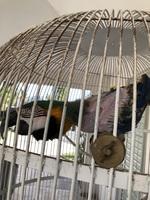 Mucho moco en la nariz en aves, Guacamayo azulamarillo