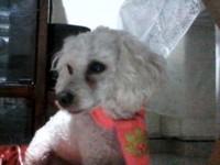 Campana, mi perro caniche hembra, tiene pulgas