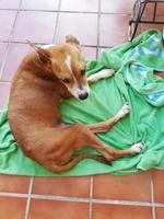 Falta de pelo alrededor de los ojos en perros, Staffordshire Terrier americano