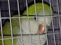 Picor y rascarse en aves, Desconocida
