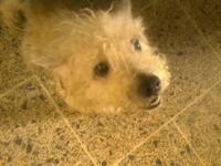 Ojos azules en perros, Caniche
