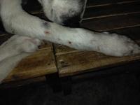 Dolor de oreja en perros, Desconocida