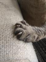 Meiga, mi gato común europeo hembra, tiene cojera y crecimiento anormal de las uñas