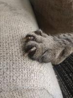 Cojera en gatos, Común europeo