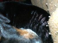 Highlander, mi perro cruce de dachshund macho, tiene picor y rascarse, mal olor en la piel y pulgas